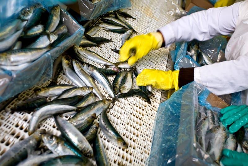 Trier de poissons photos libres de droits