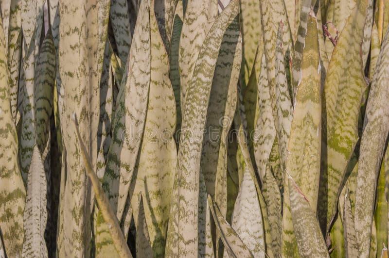 Trifasciata del Sansevieria, o cáñamo de cuerda de arco del ` s de la víbora, planta de serpiente, lengua del ` s de la suegra o  imagen de archivo libre de regalías