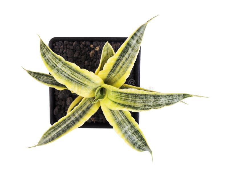 Trifasciata di sansevieria o pianta di serpente in vaso isolato fotografia stock libera da diritti