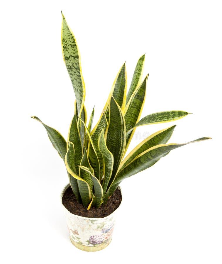 Trifasciata di sansevieria o pianta di serpente in vaso su un backgro bianco fotografia stock