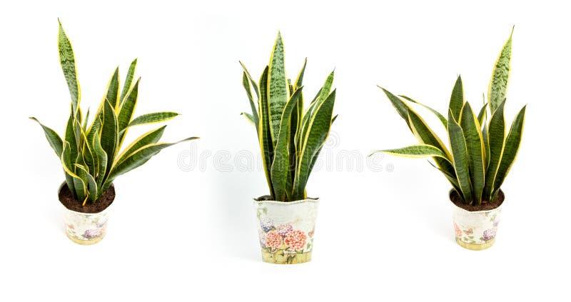 Trifasciata di sansevieria o pianta di serpente in vaso su un backgro bianco immagini stock libere da diritti