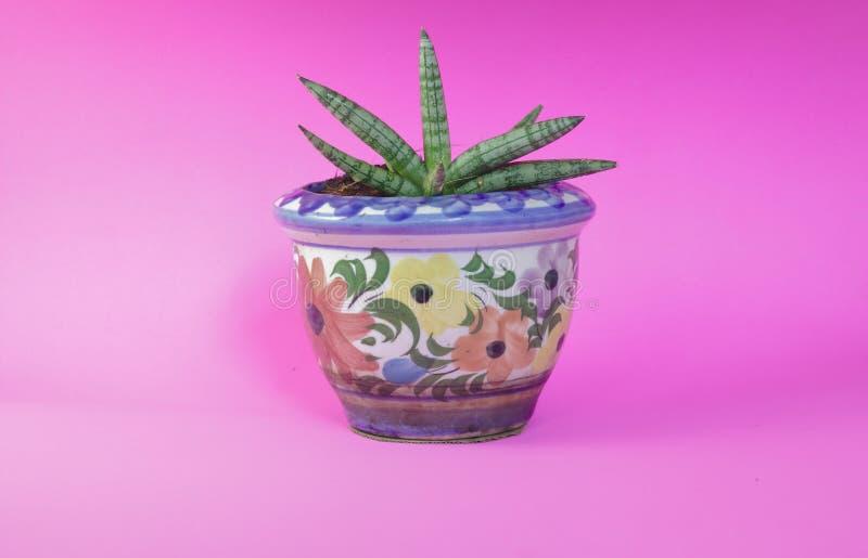 Trifasciata di sansevieria san Boncel nel modello lustrato bianco del vaso di fiore, fotografie stock