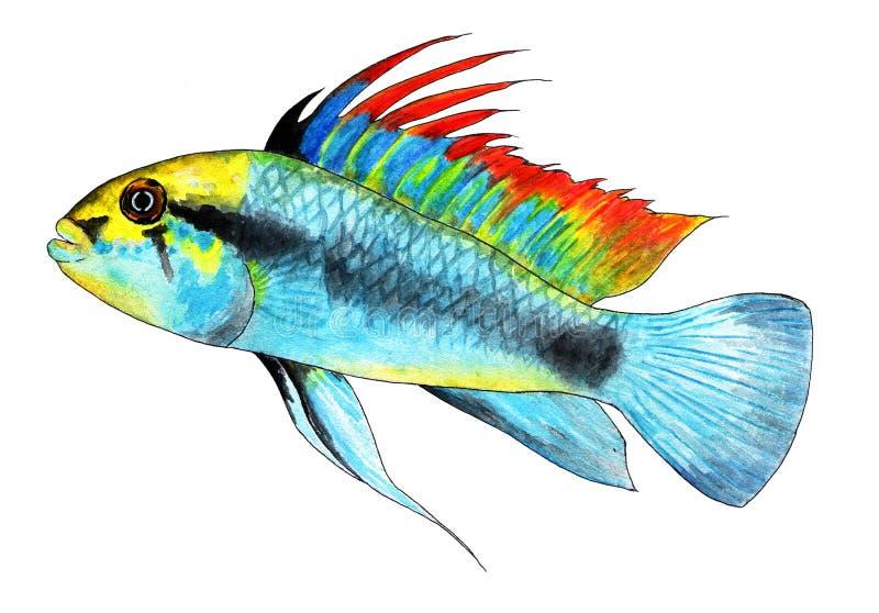 Trifasciate de Apistogramma Cichlid enano Pescados del acuario, pescados tropicales Ilustración de la acuarela libre illustration