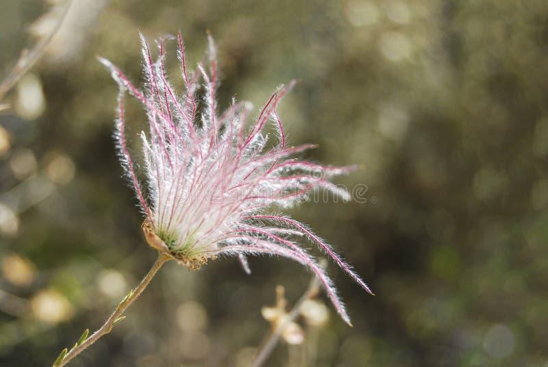 Triflorum del Geum fotos de archivo