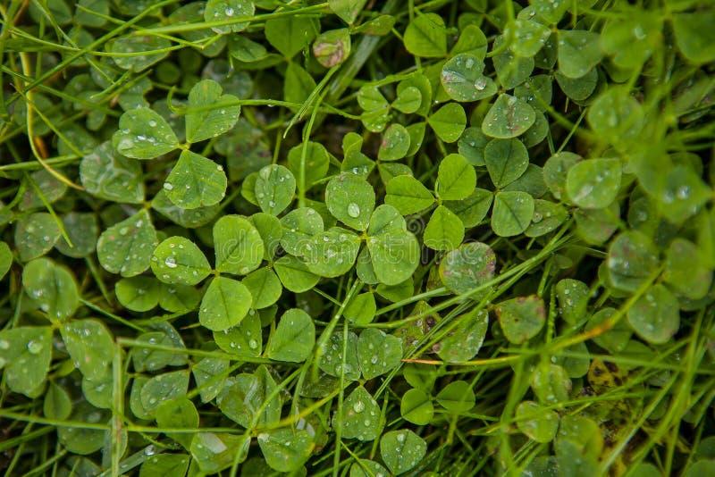 trifoglio di trifoglio irlandese in un letto d'erba fotografia stock libera da diritti