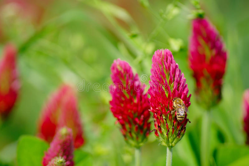 Trifoglio e ape fotografie stock libere da diritti