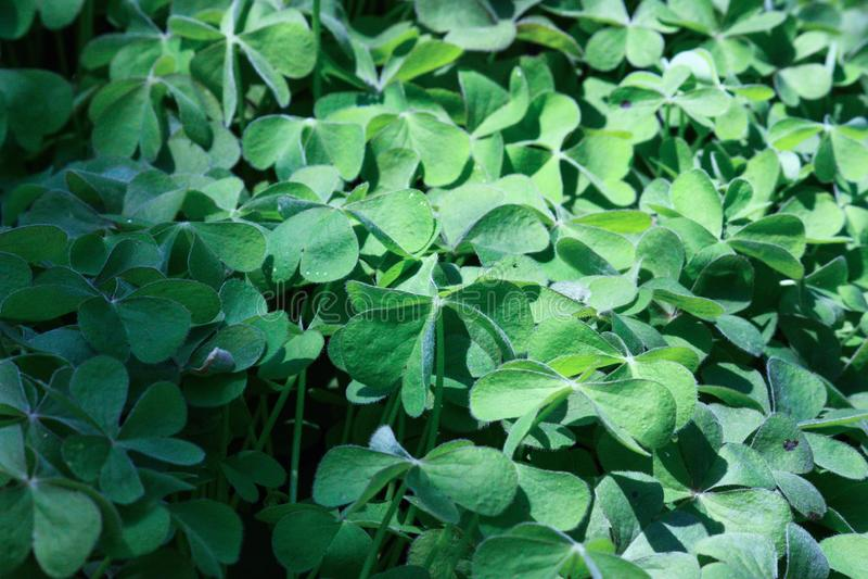 Trifoglio; foglia verde fresca; lama a forma di del cuore fotografia stock