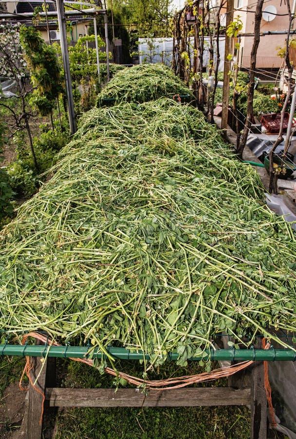 Trifoglio secco nel giardino composizione verticale - Composizione giardino ...