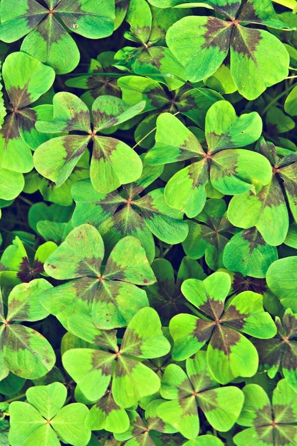 Trifolium. Also known as Clover stock photo