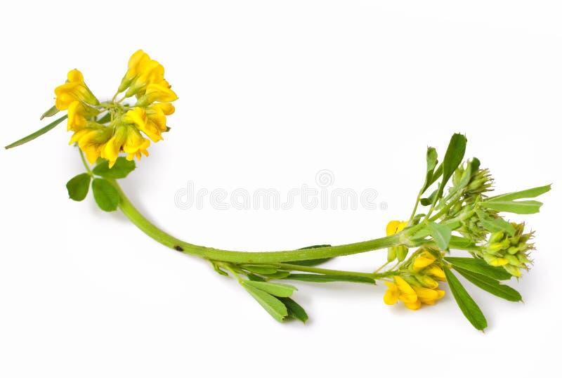 Trifolium fotos de archivo