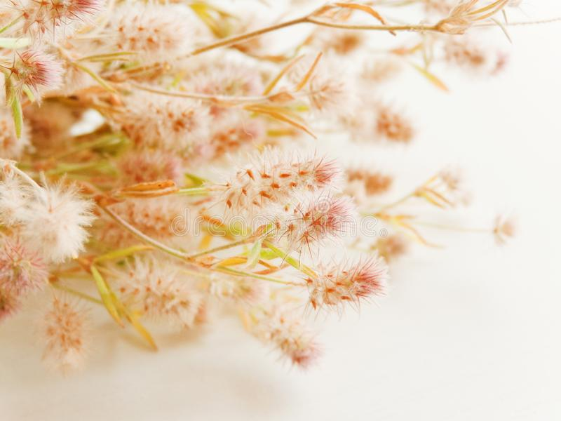 Trifolium arvense on white. Trifolium arvense herb on white wooden background. Shallow dof stock photos
