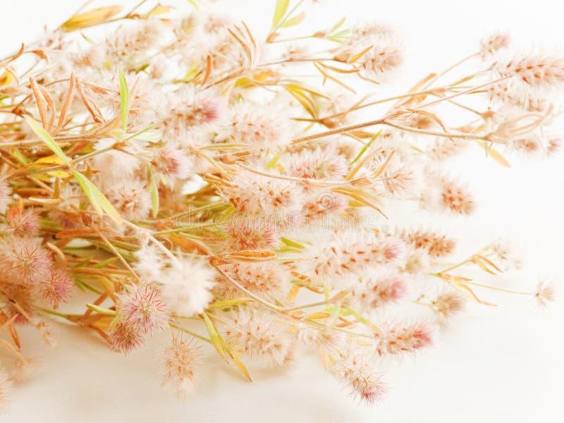 Trifolium arvense on white. Trifolium arvense herb on white wooden background. Shallow dof royalty free stock photography