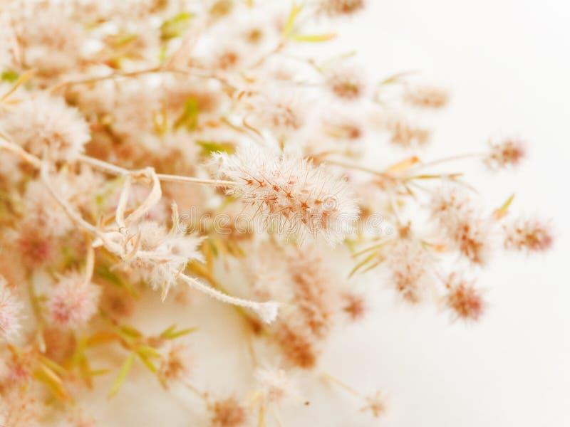Trifolium arvense on white. Trifolium arvense herb on white wooden background. Shallow dof stock photo