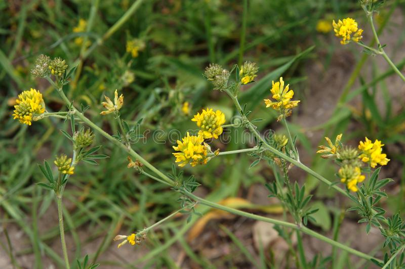 Trifolium campestre with yellow flowers stock image
