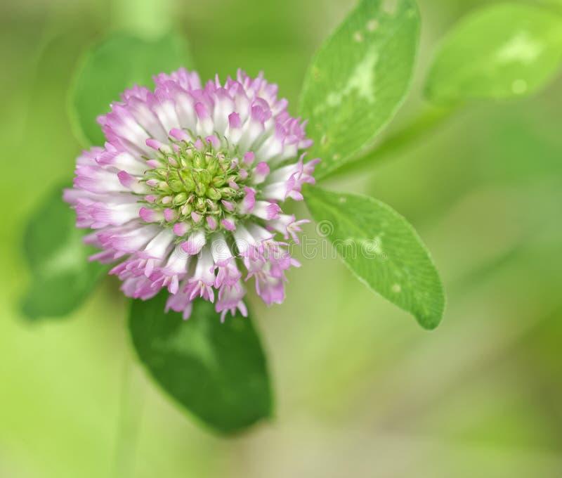 Trifolium flower in a garden. Trifolium flower in a meadow in la spezia royalty free stock photography