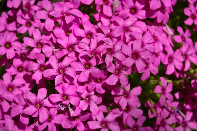 Trifolium flower in a garden. Trifolium, clover flower macro against a green background stock image