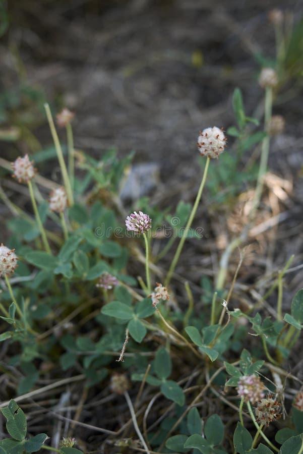 Trifolium fragiferum in bloom. Flower heads of Trifolium fragiferum plants stock photos