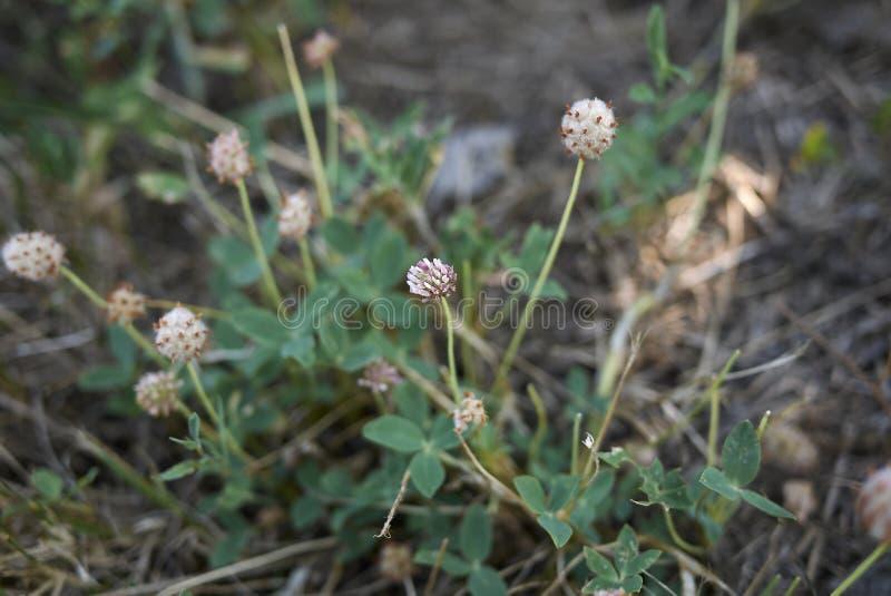 Trifolium fragiferum in bloom. Flower heads of Trifolium fragiferum plants stock photography