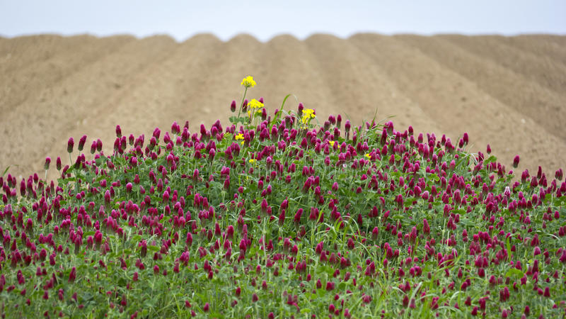 Trifolium incarnatum obrazy royalty free