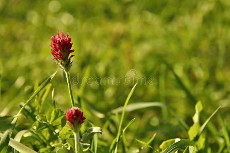Trifolium incarnatum. Autumn meadow - blooming Trifolium incarnatum stock image