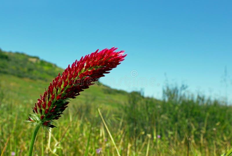Crimson clover or Italian clover royalty free stock image
