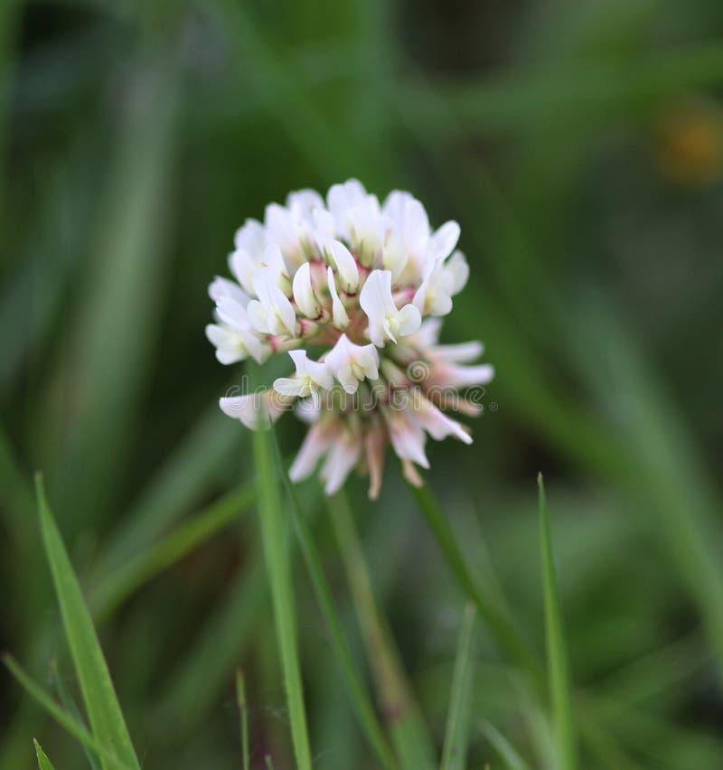Trifolium montanum stock image