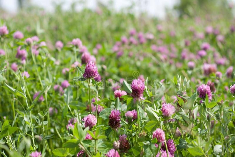 Trifolium pratense zdjęcia stock