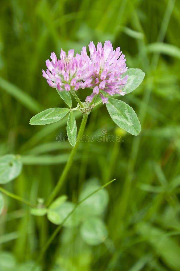 Trifolium pratense. Closeup photo of Trifolium pratense growing on a meadow stock photography