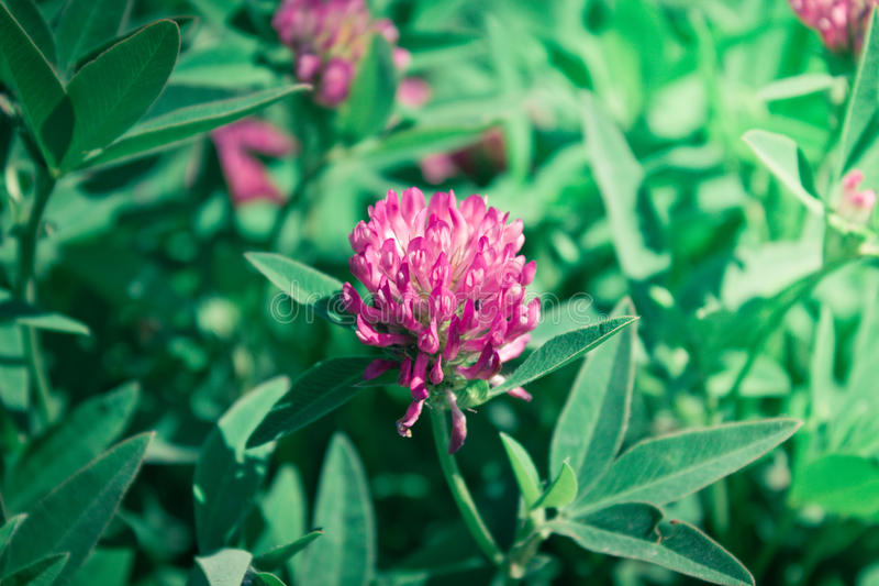 Trifolium pratense. Clover, trifolium, trefoil on background royalty free stock image