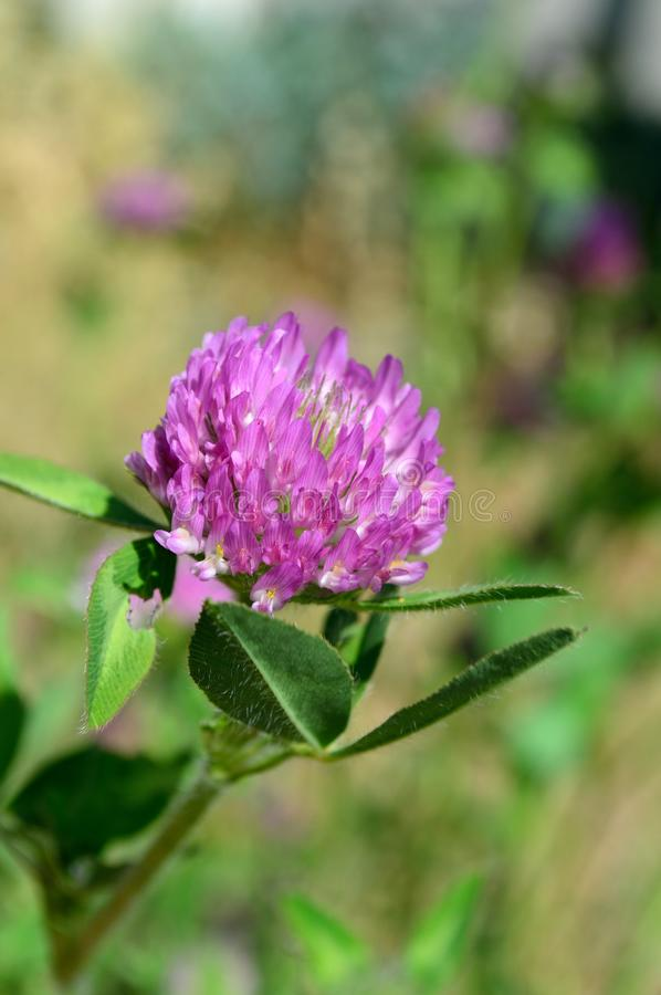 Trifolium pratense red clover closeup. Trifolium pratense, the red clover, is a herbaceous species of flowering plant in the bean family Fabaceae. Genus stock photography