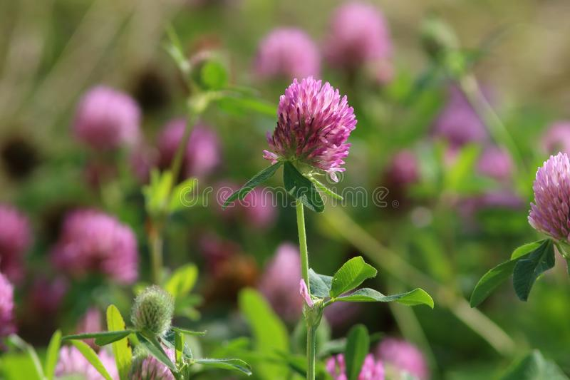 Trifolium pratense. Red clover flower. Trifolium pratense. Red meadow clover in summer in Siberia royalty free stock photography