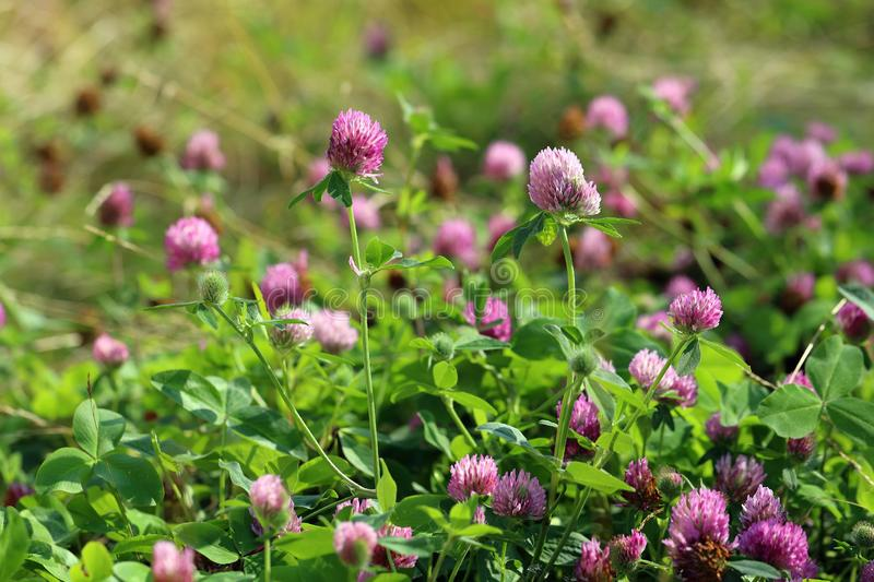 Trifolium pratense. Red clover flowers on a Sunny day. Trifolium pratense. Red meadow clover in summer in Siberia stock photo