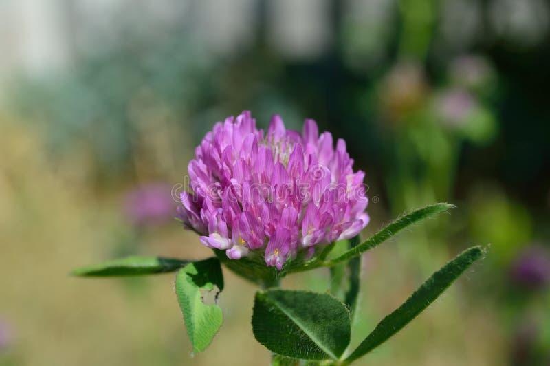 Trifolium pratense red clover macro stock image