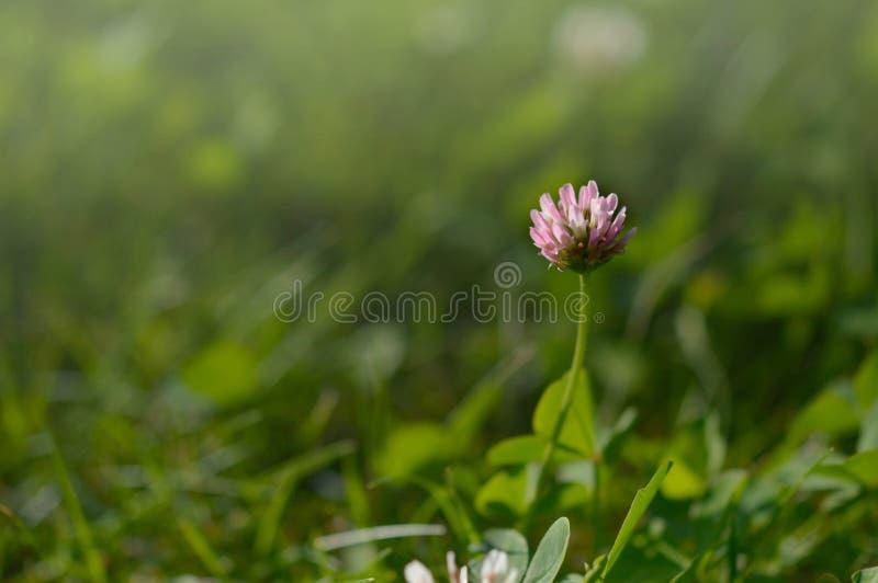 Trifolium pratense. Red clover wildflower royalty free stock image