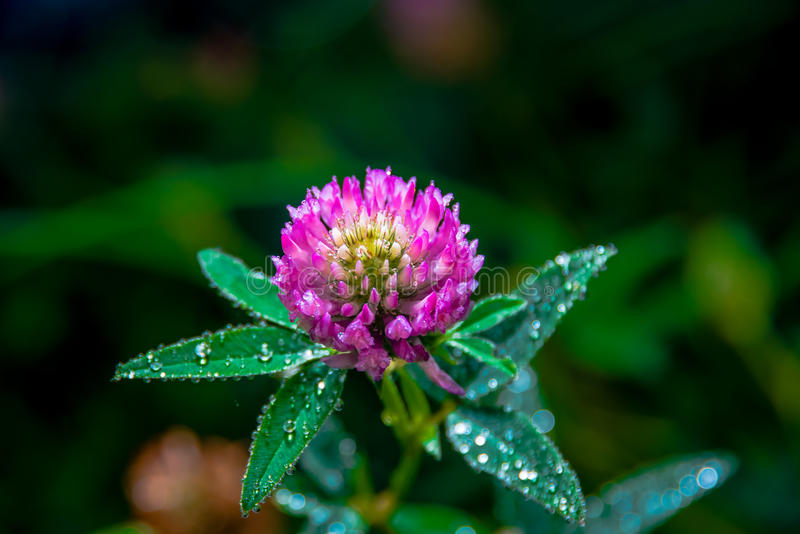 Trifolium pratense. Thickets of a blossoming clover royalty free stock images