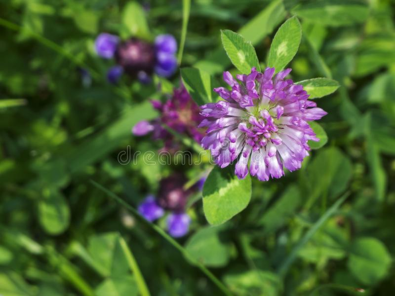 Trifolium pratense top view in the grassland. Red meadow clover Latin: Trifolium pratense with single aphids in front of a blurred natural grassland background royalty free stock photos