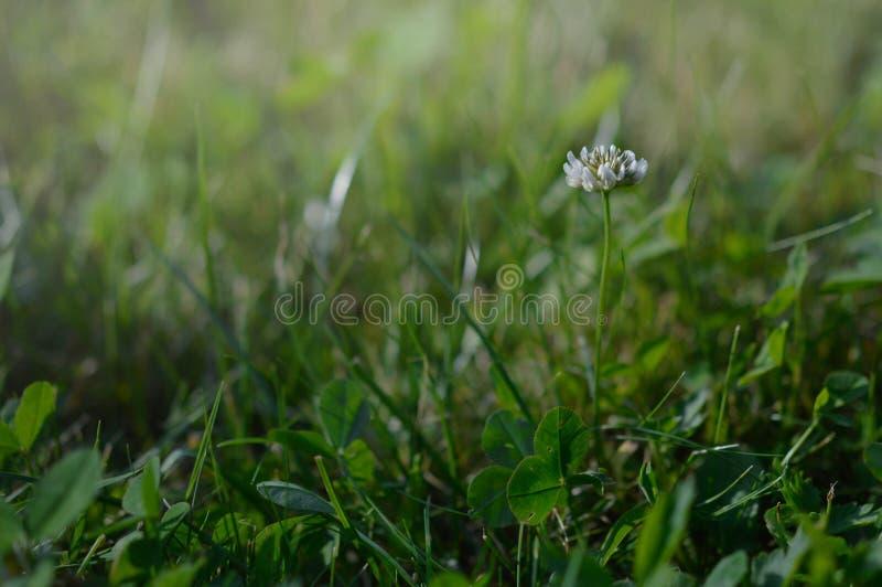 Trifolium pratense. Romania, transylvania, background, beauty, bloom, blooming, blossom, blossoms, botanical, botany, bud, closup, dawn, fauna, field, flora stock photo