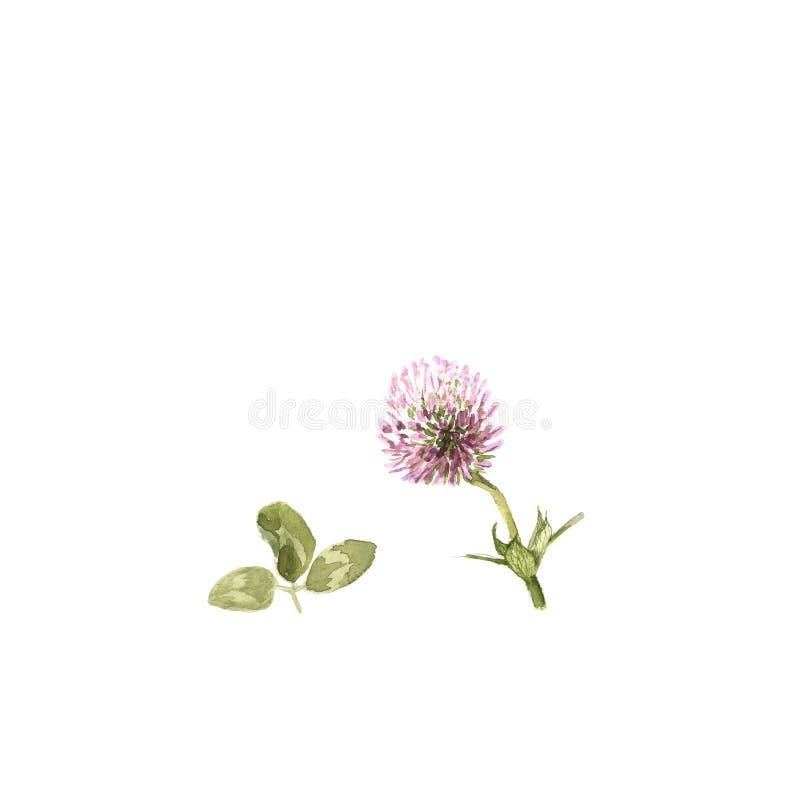 Trifolium pratense. Watercolor illustration of clover flower on white stock illustration