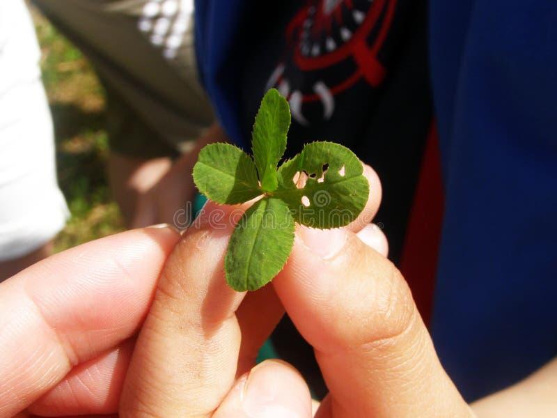 Trifolium quatro-petalado do trevo para a boa sorte, com os furos que as lagartas comeram, nas mãos das crianças imagens de stock royalty free