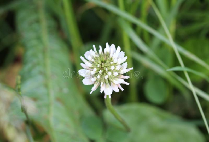 Trifolium repens, also know as the white clover, Dutch clover, Ladino clover, or Ladino, blooming in spring stock images