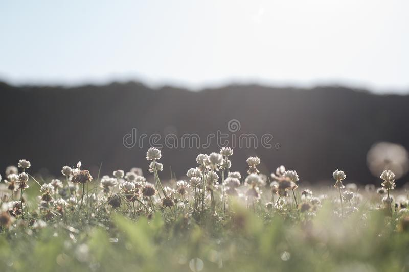 Trifolium repens  on the backyard lawn stock image