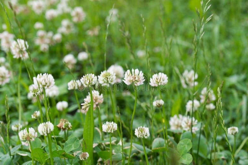 Trifolium repens, bia?a koniczyna kwitn? w ??ce obraz royalty free