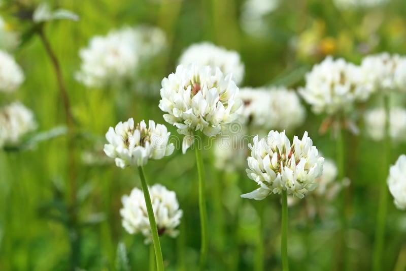 Trifolium repens. The blossoming plant close up. Trifolium repens. The white clover grows on a meadow stock photography