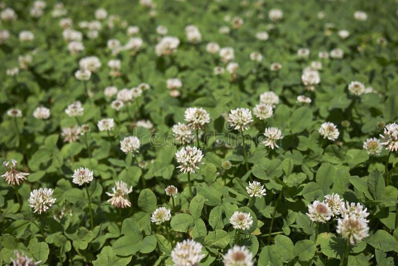 Trifolium repens close up royalty free stock image