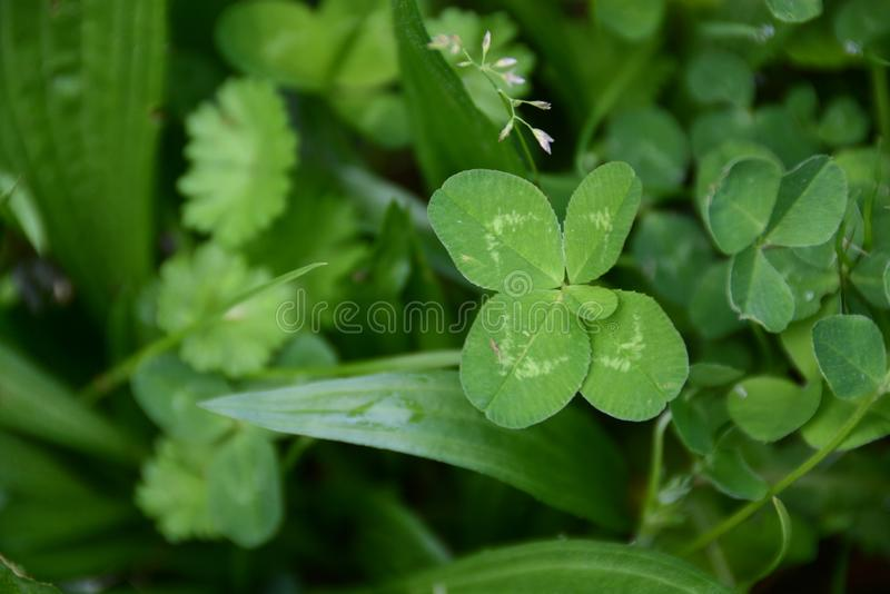 Trifolium repens, five leaf in grass stock photography