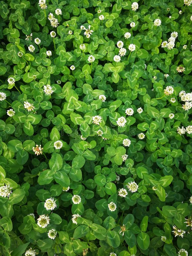 Trifolium repens L. With white flower royalty free stock image