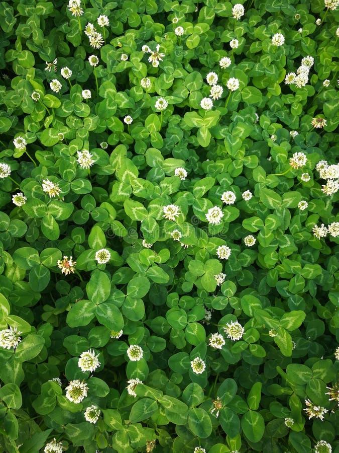 Trifolium repens L royalty free stock image