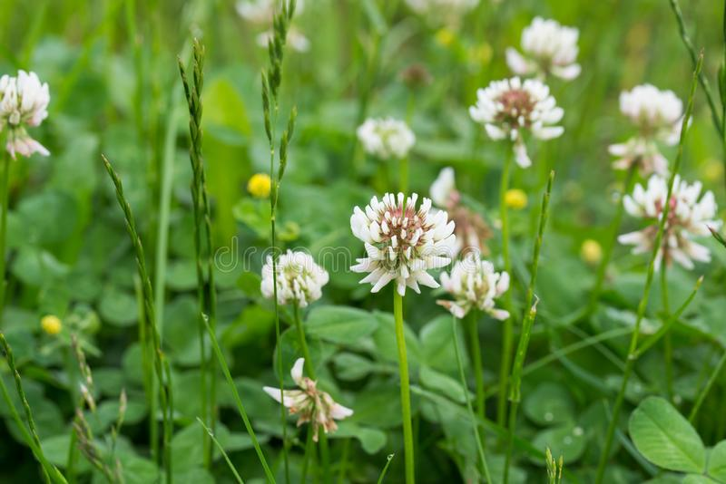 Trifolium repens,  white clover flowers in meadow royalty free stock photo
