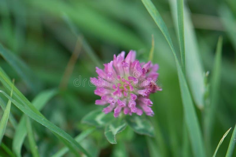 Trifoliumpratense för röd växt av släktet Trifolium, gemensam växt- medicin som används i te arkivbilder