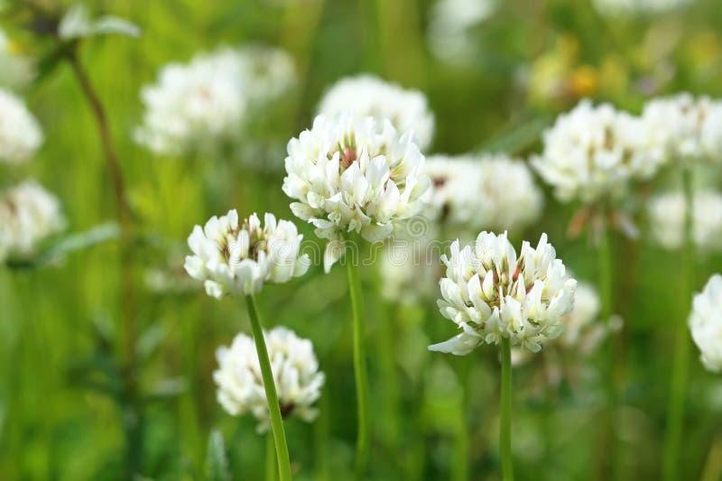 Trifoliumrepens Det blomstra växtslutet upp arkivbild
